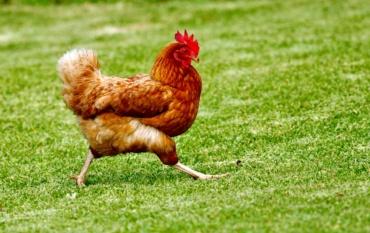 La gallina che divenne principessa